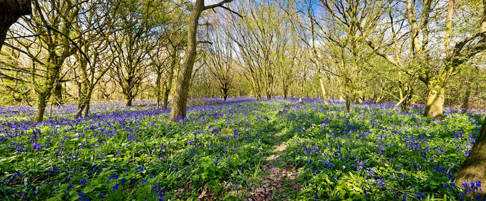 North Yorkshire: Hambleton Bluebells